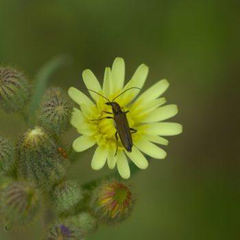 Oedemera flavipes (Scheinbockkäfer)