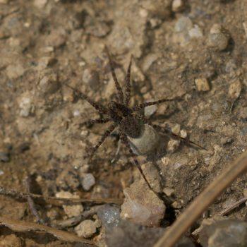 Pardosa proxima (Wolfspinne) - Portugal