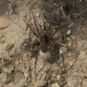 Pardosa proxima (Wolfspinne)