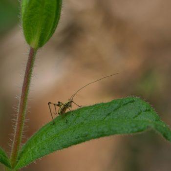 Phaneroptera sp. (Sichelschrecke) - Portugal