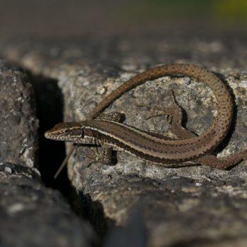 Podarcis guadarramae (Guadarrama Wall Lizard) - Portugal