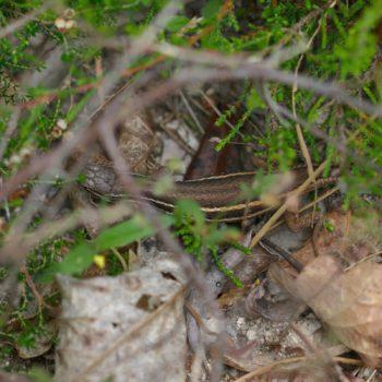 Psammodromus algirus (Algerischer Sandläufer) - Portugal