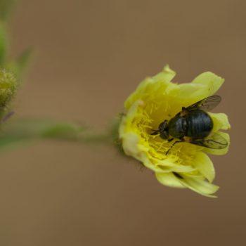 Usia aenea (Wollschweber)