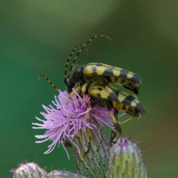 Lepturinae (Schmalböcke)