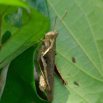 Abracris flavolineata (Feldheuschrecke) - Costa Rica