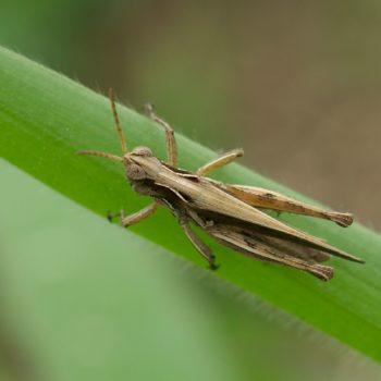 Acrididae sp. (Feldgrashüpfer) - Costa Rica
