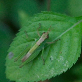 Acrididae sp. (Feldheuschrecke)