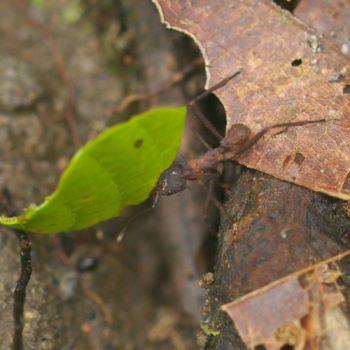 Acromyrmex sp. (Blattschneiderameise)