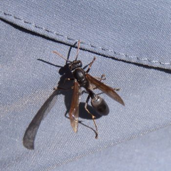 Agelaia cf. panamaensis (Feldwespe)