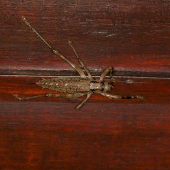 Ancistrocercus sp. (Laubheuschrecke)