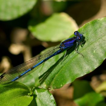 Argia extranea (Spine-tipped Dancer)