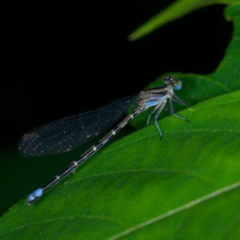 Argia sp. (Schlanklibelle) - Costa Rica