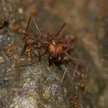 Atta cephalotes/colombica (Blattschneiderameise)