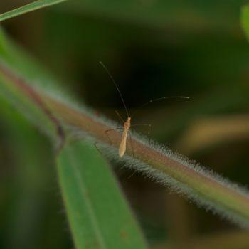 Berytidae sp. (Stelzenwanze)