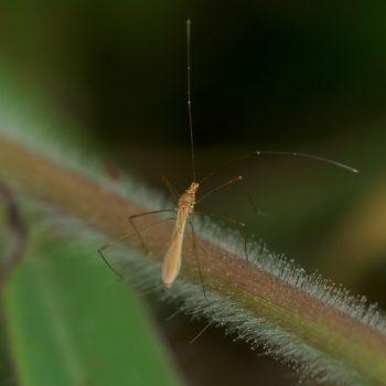 Berytidae sp. (Stelzenwanze) - Costa Rica