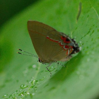 Calycopis isobeon (Dusky-blue Groundstreak)