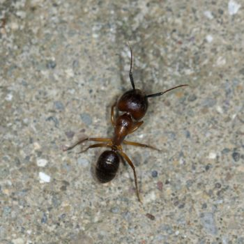 Camponotus atriceps (Schuppenameise)