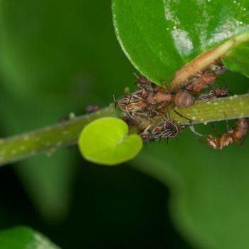 Camponotus rectangularis (Schuppenameise)