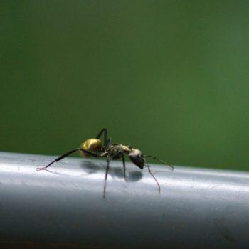 Camponotus sericeiventris (Rossameise)