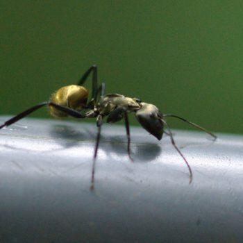 Camponotus sericeiventris (Rossameise) - Costa Rica
