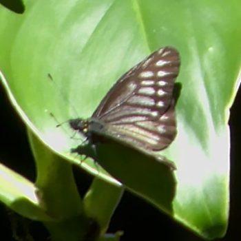 Catasticta ctemene actinotis (Darkened Dartwhite)