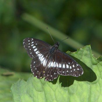 Catasticta flisa melanisa (Narrow-banded Dartwhite)