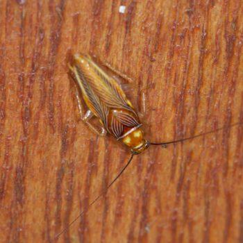 Chorisoneura sp. (Waldschabe) - Costa Rica