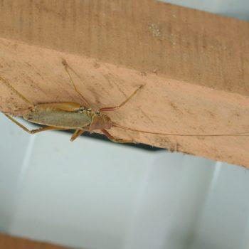 Cocconotus sp. (Laubheuschrecke)