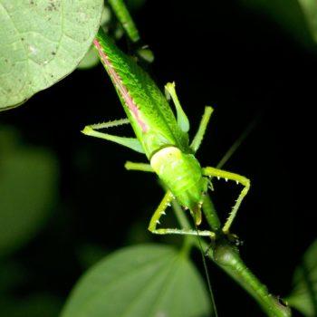 Copiphora sp. (Langfühlerschrecke) - Costa Rica