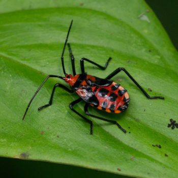 Heteroptera (Wanzen) - Costa Rica 2018