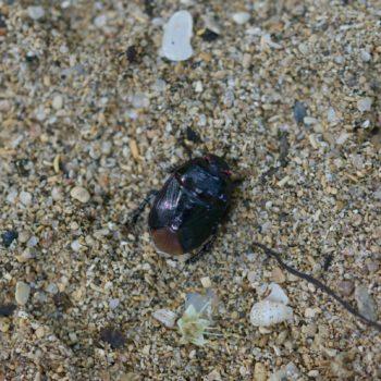 Cydnidae sp. (Erdwanze)