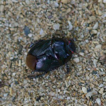 Cydnidae sp. (Erdwanze) - Costa Rica