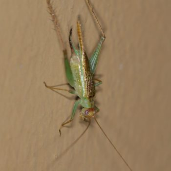 Cyrtoxipha sp. (Green Sword-tail Cricket)