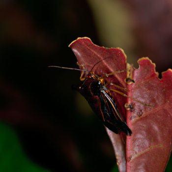 Edessa bulbacea (Baumwanze)