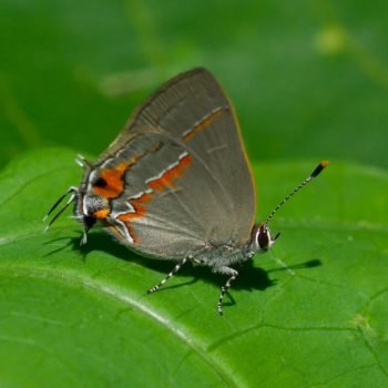Electrostrymon hugon (Ruddy Hairstreak)
