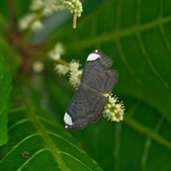 Emesis lucinda (White-patched Emesis)