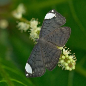 Emesis lucinda (White-patched Emesis) - Costa Rica