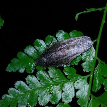 Epilampra sp. (Riesenschabe) - Costa Rica