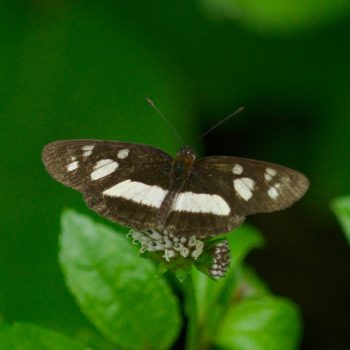 Eresia clio (Common Crescent) - Costa Rica