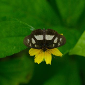 Eresia clio (Common Crescent)