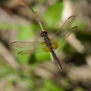 Erythrodiplax fervida (Red-mantled Dragonlet) - Costa Rica