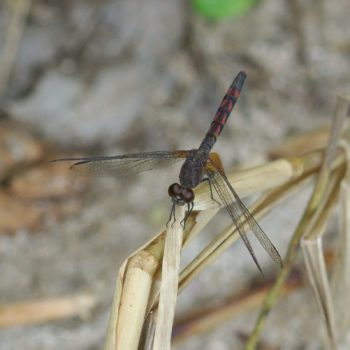 Erythrodiplax fervida (Red-mantled Dragonlet)