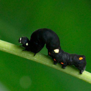 Geometridae sp. (Spanner) - Costa Rica