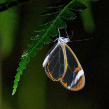 Greta morgane (Thick-tipped Greta) - Costa Rica
