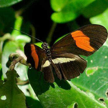 Heliconius erato (Kleiner Kurier) - Costa Rica