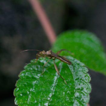 Hyalymenus sp. (Krummfühlerwanze) - Costa Rica