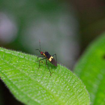 Hypselonotus interruptus (Randwanze)
