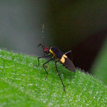 Hypselonotus interruptus (Randwanze) - Costa Rica