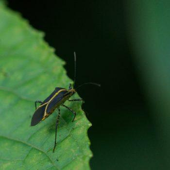 Hypselonotus linea (Randwanze) - Costa Rica