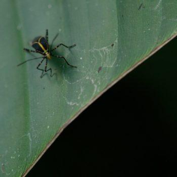 Hypselonotus linea (Randwanze)